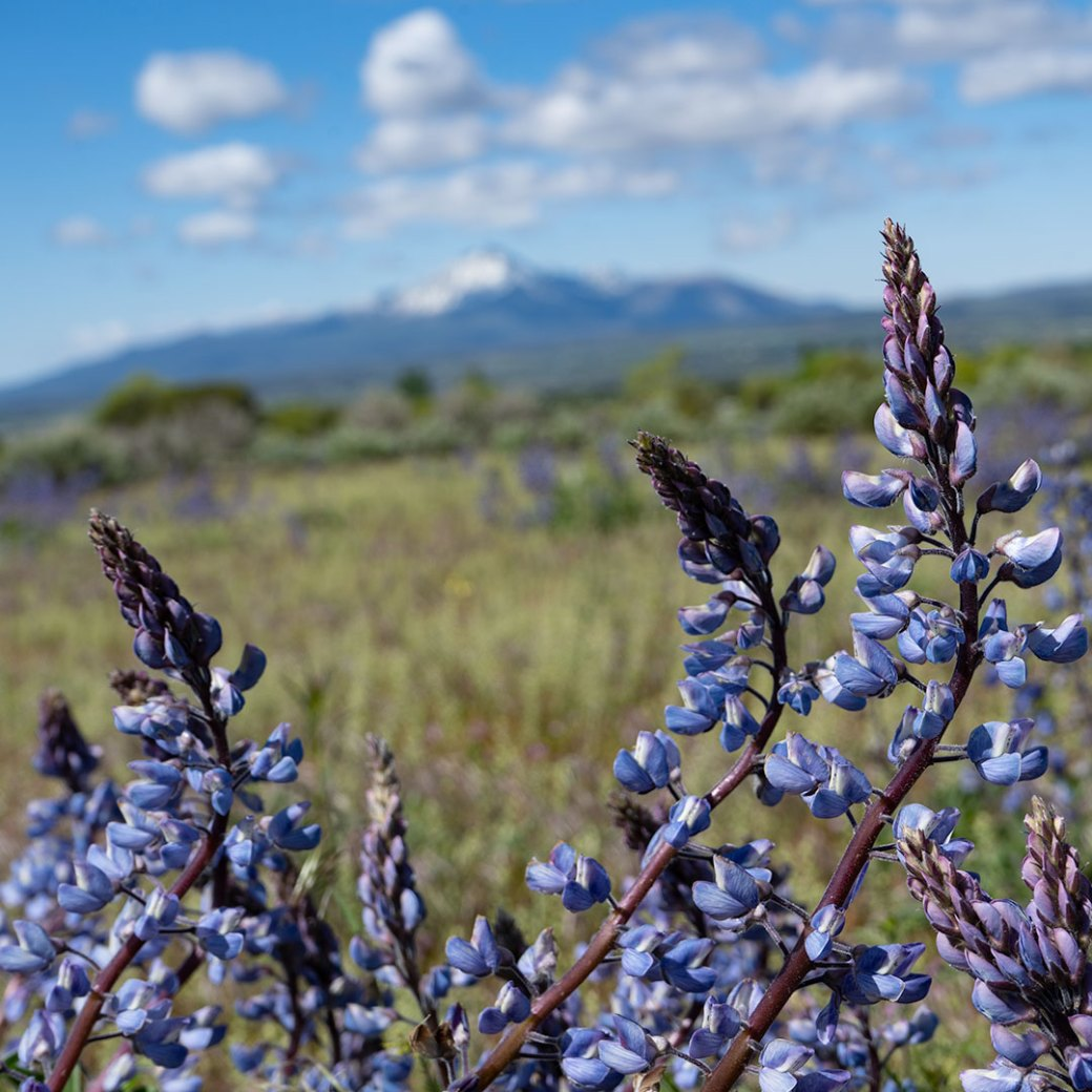 Wild Lupines photographed by Debbie Devereaux