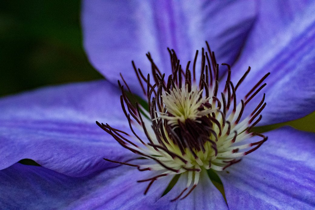 Clematis Photographed at Powell Gardens