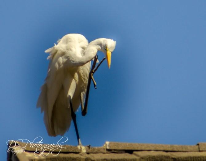 Great Egret 1