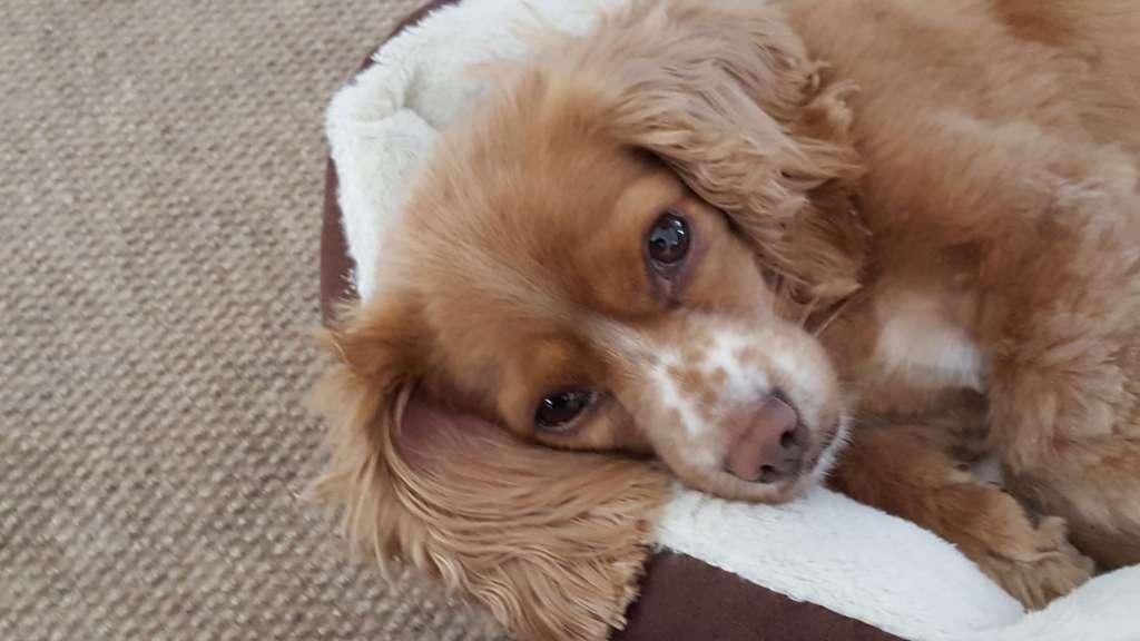 ziggy dog