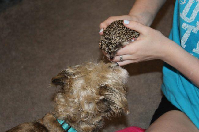Piper the hedgehog