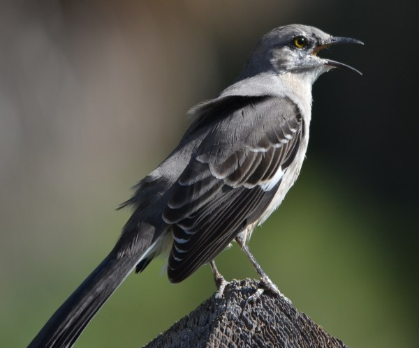 Florida State Bird Male Mockingbird - Year of Clean Water