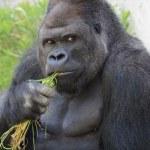 Un gorila causa furor entre las jóvenes japonesas porque lo consideran muy guapo