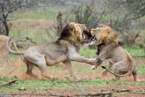 Fotografías muestran  pelea atroz entre dos leones, después que uno de ellos  trató de interrumpir al otro mientras se apareaba con una hembra