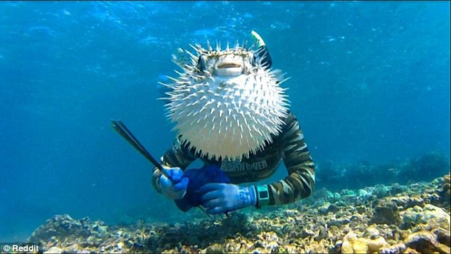 2D69855E00000578-3272515-Sharp_focus_This_puffer_fish_chose_the_perfect_moment_to_swim_in-a-8_1444901525838