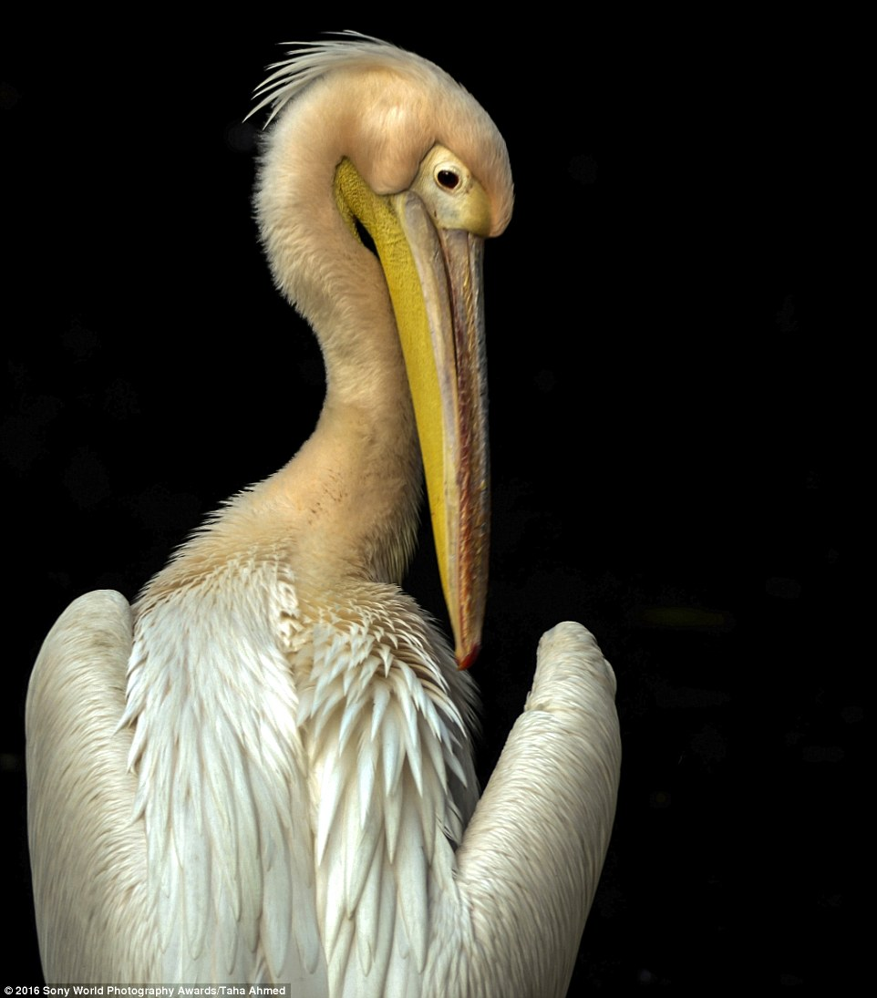 2DF29E5400000578-3296769-Taha_Ahmed_from_India_captured_this_neutral_coloured_pelican_and-a-15_1446221880573