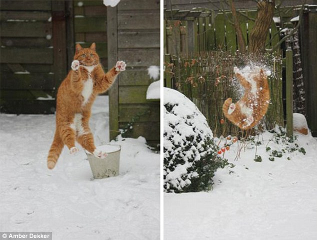 2E3AF1AF00000578-3309168-Incoming_This_ginger_cat_grossly_misjudged_the_speed_of_a_snowba-a-53_1446992580849