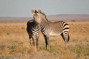 Dos cebras parecen compartir una sola cabeza en esta fotografía de ilusión óptica … pero ¿puede decir con seguridad, el cuerpo al que pertenece?