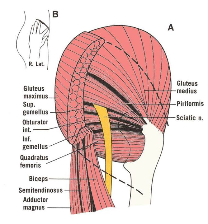 Piriformis Gluteus Muscles Diagram - Block And Schematic Diagrams •