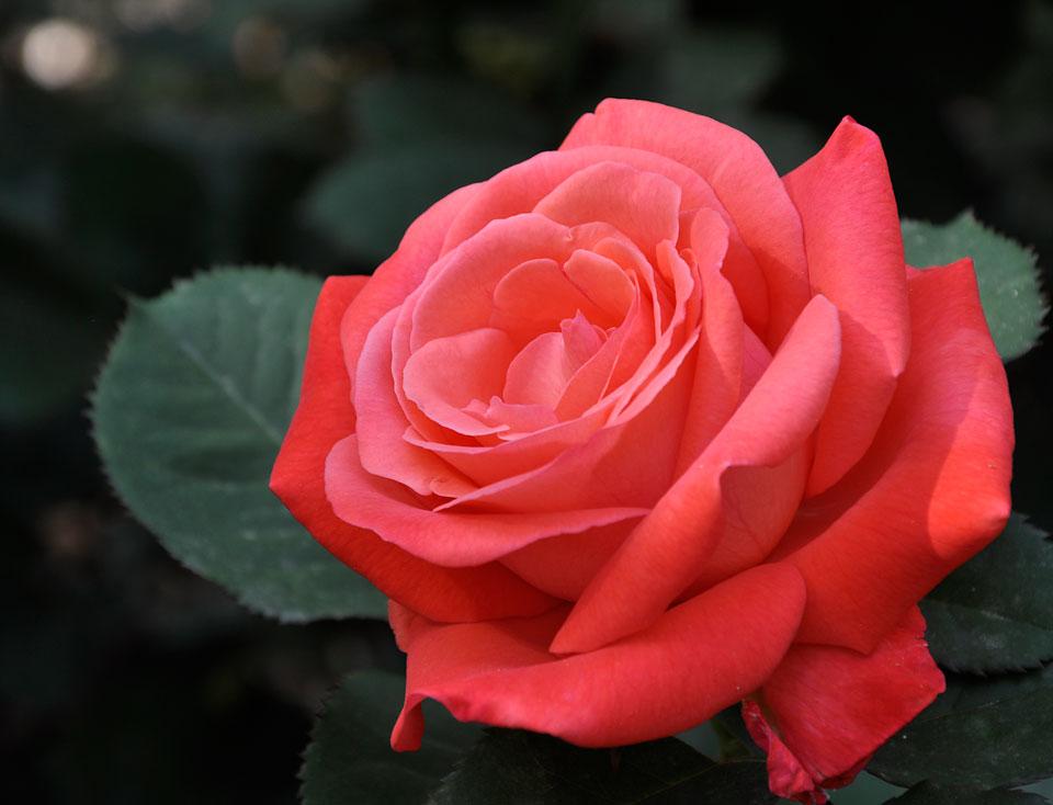 RoseBeauty