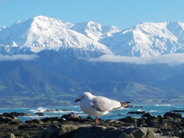 A seagull with the mountains of New Zealand in the background.