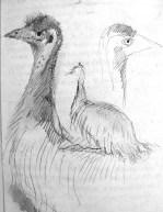 Emu cropped