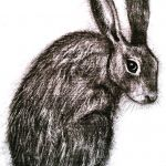 hare charcoal drawing