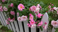 Roses all over picket fence Eliot St