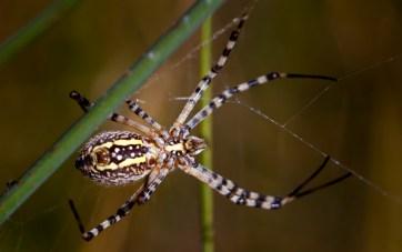 Spider in juncus fields