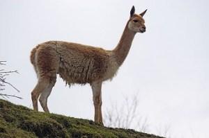 La lana de vicuña.