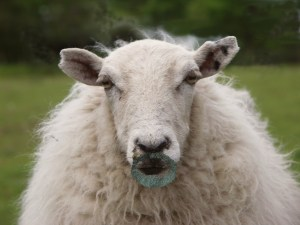 sheep with beard goatee