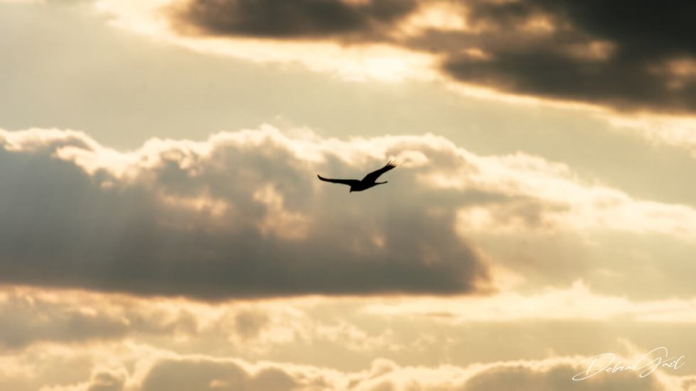 vulture at sunset