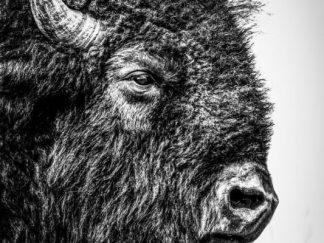 Bison Bull Portrait 02102