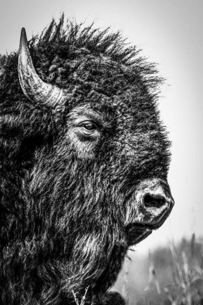 a bison in tallgrass prairie national preserve in Kansas