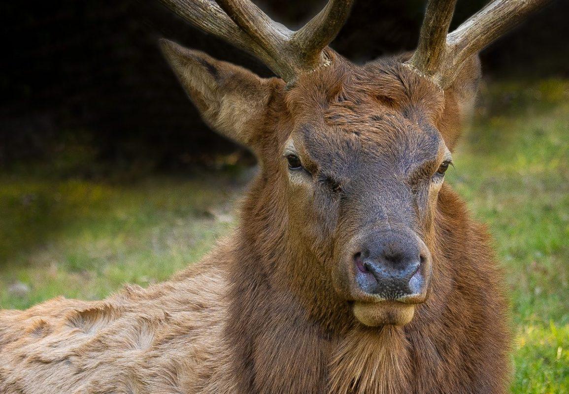 elk and deer Bull Elk debra gail photography