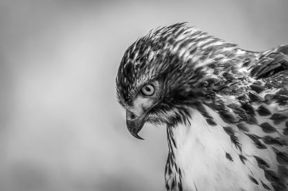 Red-Tailed Hawk BW 9865