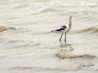 American Avocet Wall Art debra gail photography shore birds