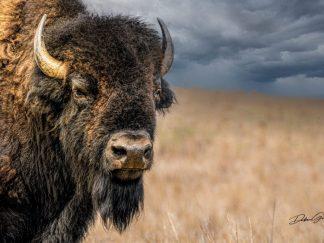 bison american buffalo bull wall art debra gail