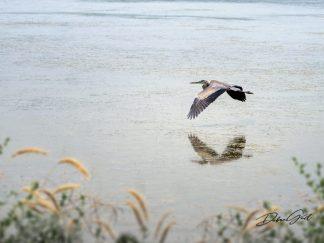 Great Blue Heron Wall Art waterfowl
