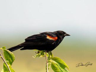 red-winged blackbird debra gail photography