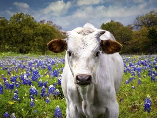 cute white calf in a field of bluebonnets wall art
