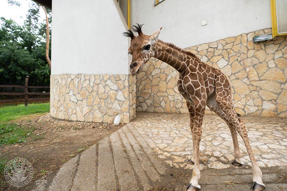 Íme Zahara, a debreceni állatkert kis zsiráfja