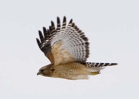 FlyingHawk