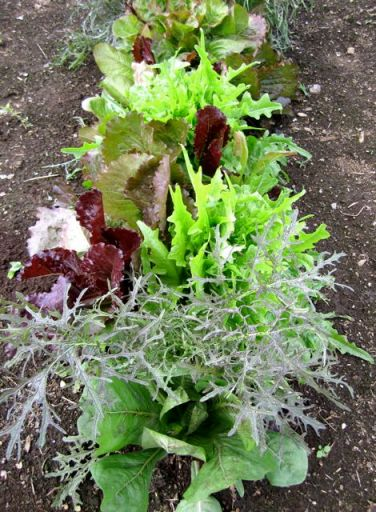GardenLettuce