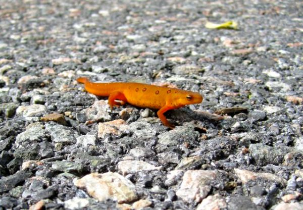 NeboSalamander