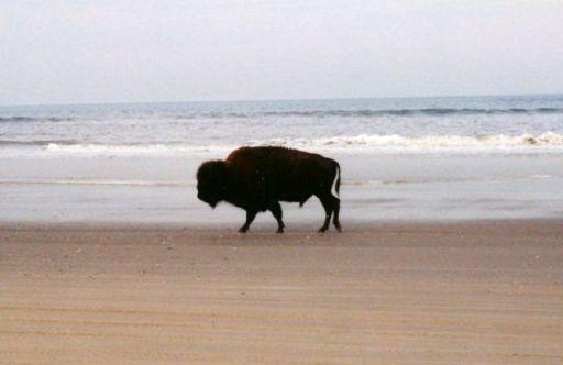 BeachBuffalo