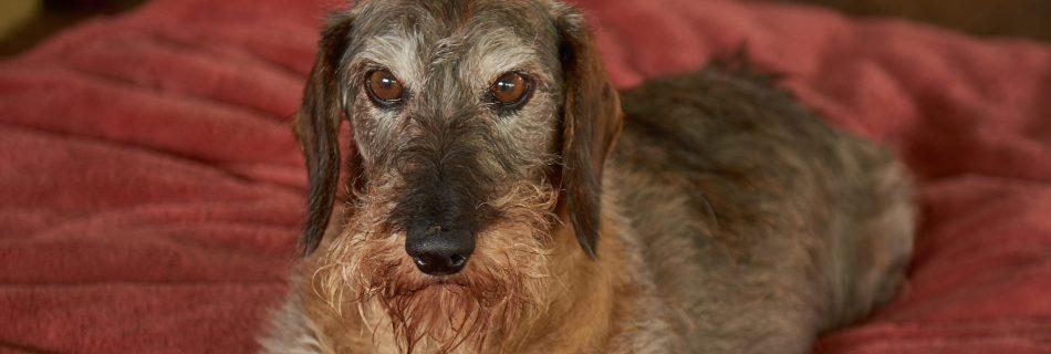 Older Dog at the Dogwoods Mount Horeb WI