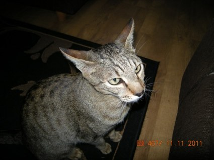 Our cat Suki