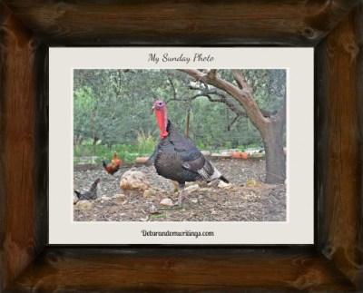 Flirty Turkey