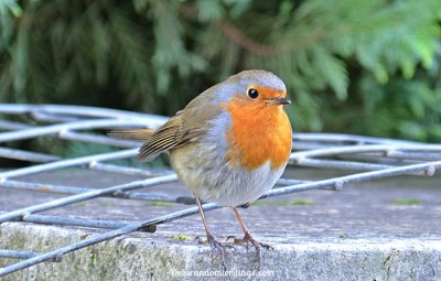 Our Elusive Robin Redbreast