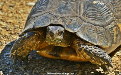 Wild Tortoise In Greece