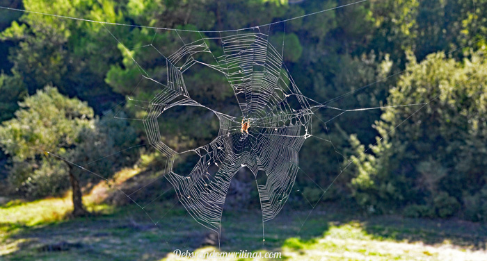 ginormous spiders' web