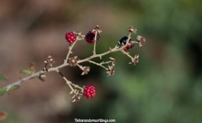 Blackberries on Skopos