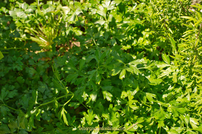 Parsley will produce harvestable leaves for two years or so and it's a herb that freezes nicely too.