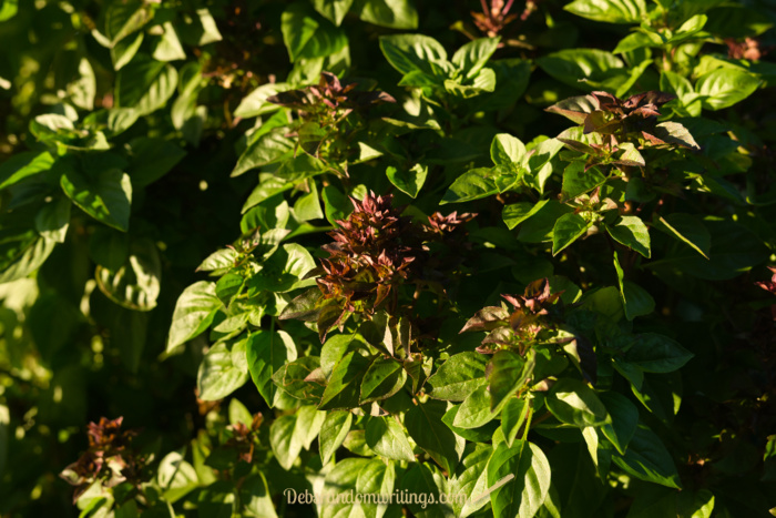To keep basil producing leaves for the kitchen, it's good to prune any sign of the plant producing flowers. The flowers are very pretty, but once they come the leaves loose quality.