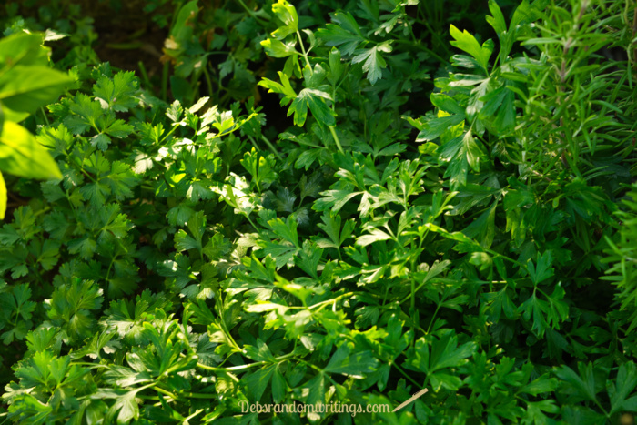 Another herb that grows really well in the herb garden is flat leaved parsley.