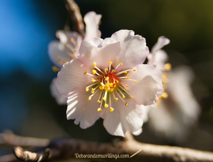 A close up of an almond blossom in spring.