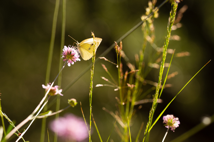 Small white butterfly beautifully lit by the early morning light.