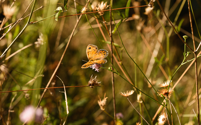 Wall brown butterfly resting with it's wings open.