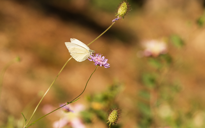 Small white butterfly perched on a wild chive flower.